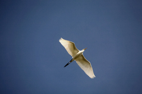 flying-egret.jpg