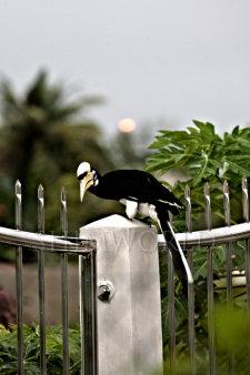 hornbill-2.jpg