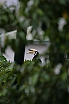 hornbill-3.jpg