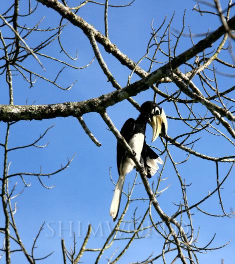 hornbill-4a.jpg