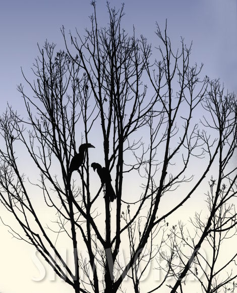 Hornbills Silhouette © Jan Shim Photography