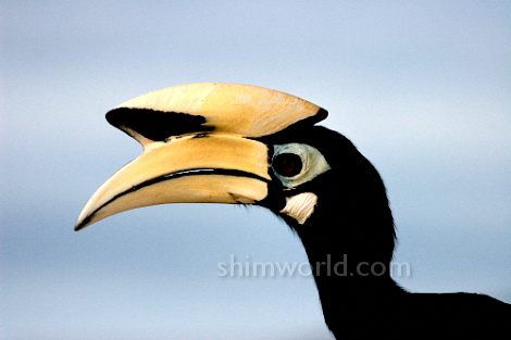 https://shimworld.files.wordpress.com/2008/11/hornbill-nov2008-01.jpg