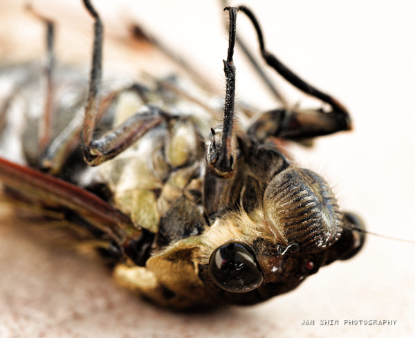 bigger-cicada