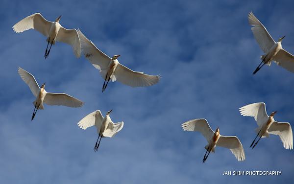 egrets-seria-wetlands-1