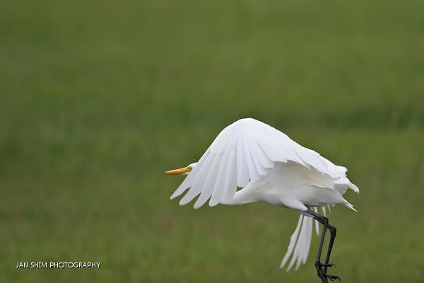 egrets-seria-wetlands-2