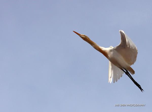 egrets-seria-wetlands-3