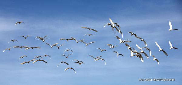 egrets-seria-wetlands-4