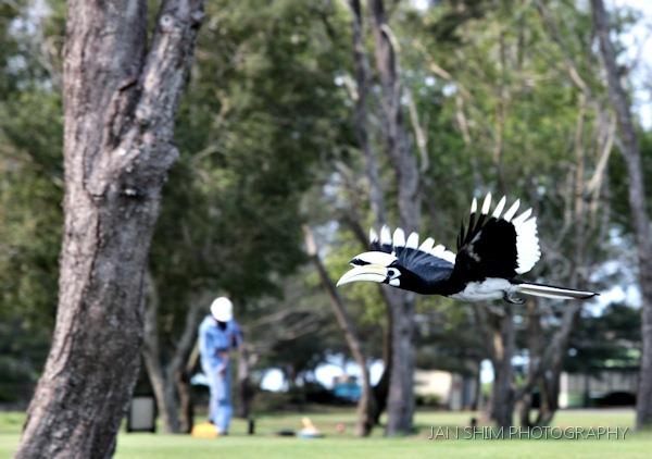 panaga-hornbill-4