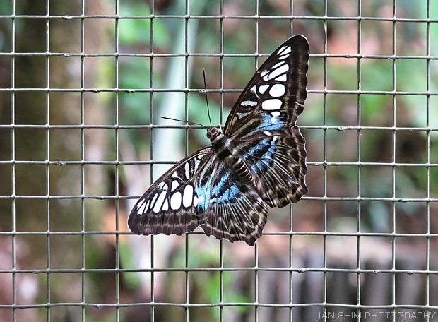 butterfly-17