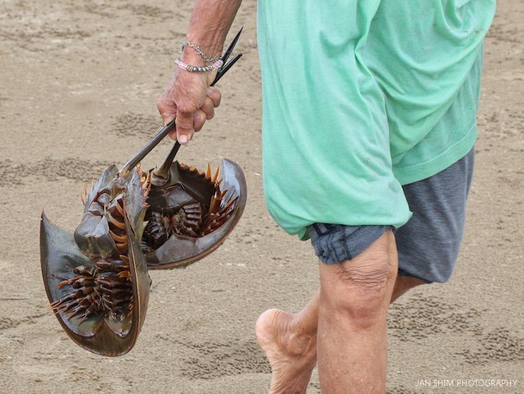 shimworld-horseshoe-crab-beach-1